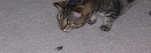 חתולה תוקפת עכביש. תמונה: Phil! Gold (cc-by-sa)