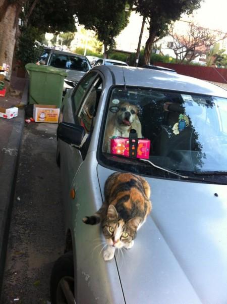 חתול על מכסה מנוע של מכונית וכלב בתוך המכונית ברמת גן. צילום: ליאורה לוי