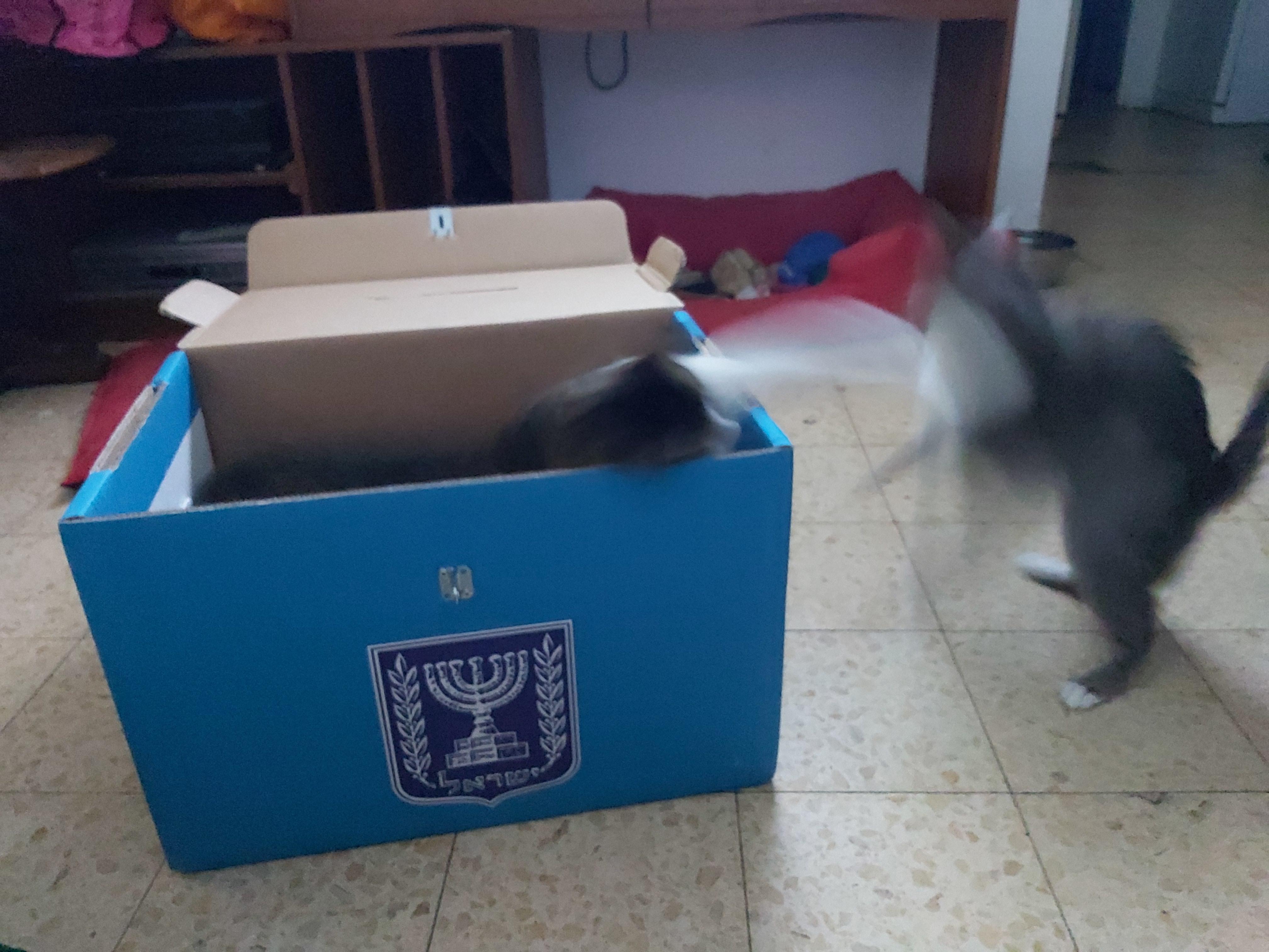 החתולים בדינג'אן ומלפוף בתוך קלפי בחירות עידו קינן